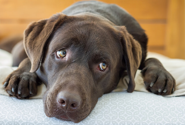 Labrador Retriever Health