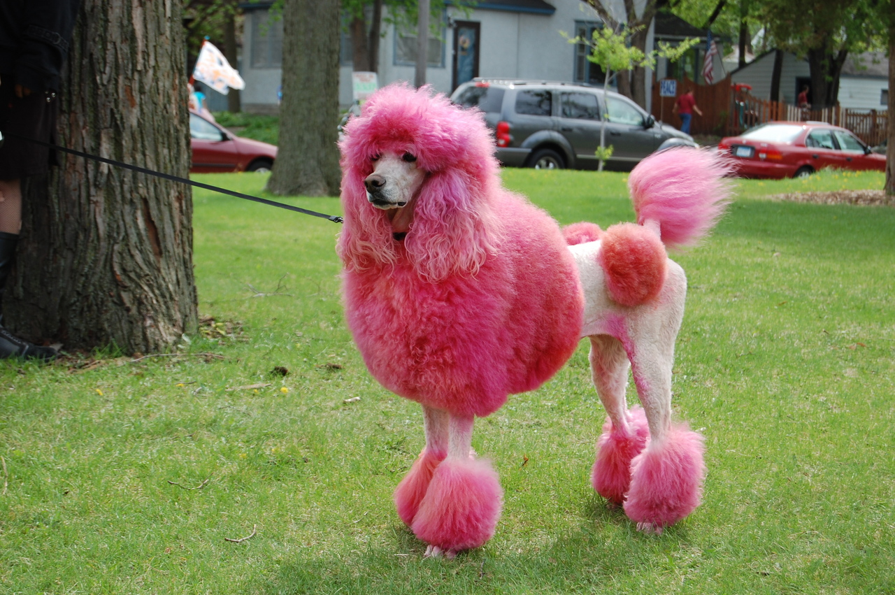 Poodle The Chien Canne Dog Breed Answers