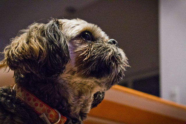 Shih Tzu watching