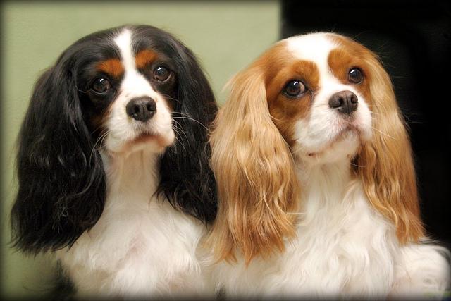 2 cavalier king charles spaniels
