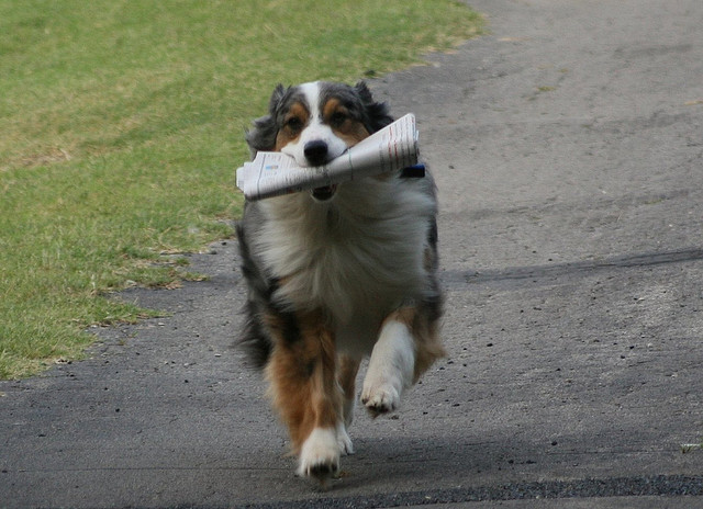 Australian Shepherd fetches newspaper