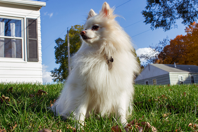 Pomeranian outdoors