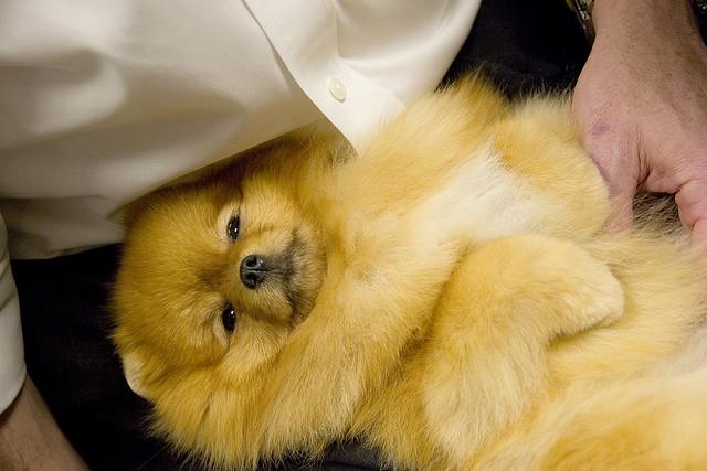 Pomeranian resting