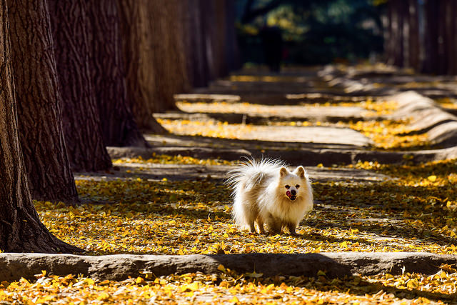 Pomeranian standing