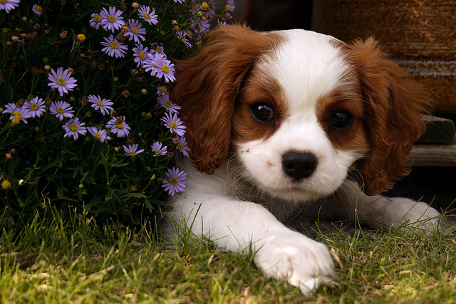 cute cavalier king charles spaniel puppy