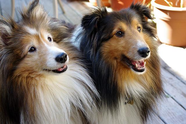 2 Shetland Sheepdogs