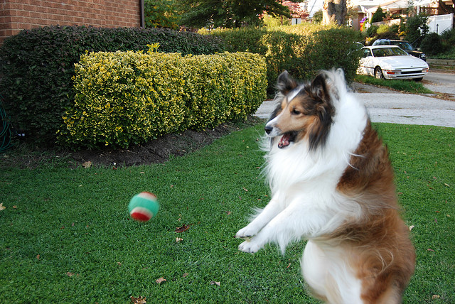 Shetland Sheepdog fetching ball
