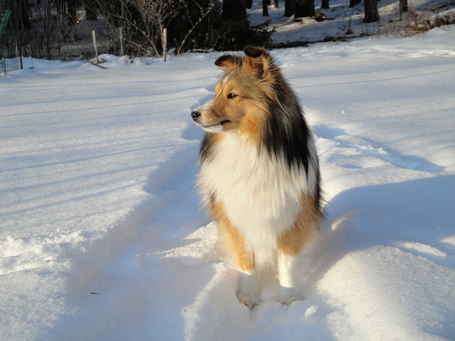 Shetland Sheepdog front profile in snow