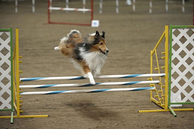 Shetland Sheepdog in agility trial