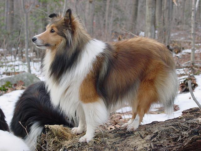Shetland Sheepdog profile posing