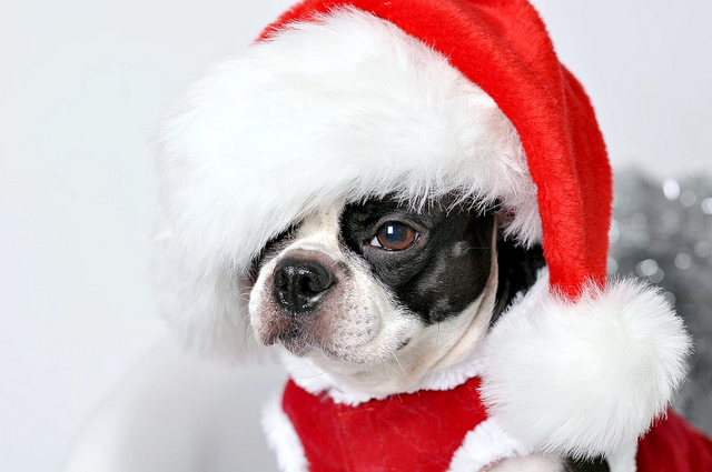 boston terrier as santa claus