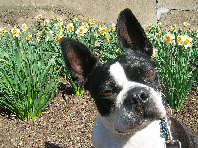 boston terrier evil stare