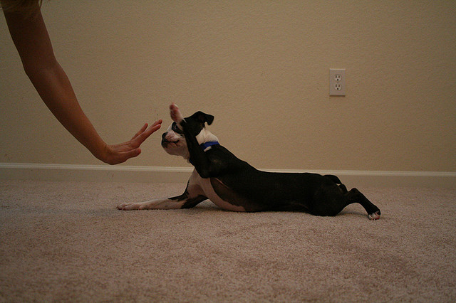 boston terrier high five
