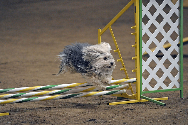 havanese agility trial