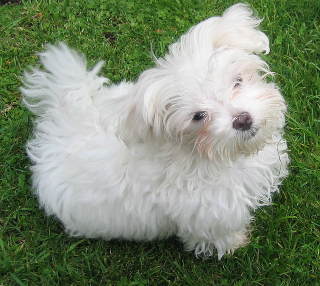 Maltese The Roman Ladies Dog Dog Breed Answers