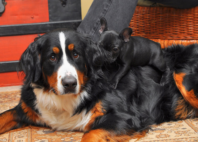 Bernese Mountain Dog mom and puppy