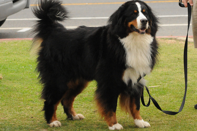 Bernese Mountain Dog appearance