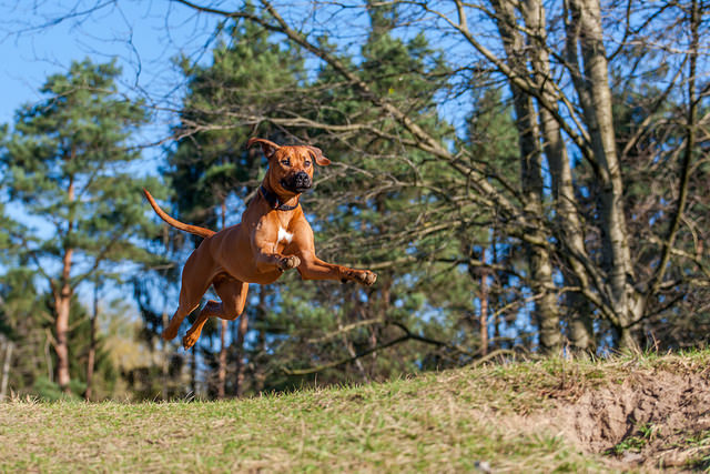 Rhodesian Ridgeback Healthy Jumping