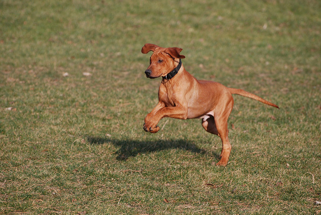 Amazing Rhodesian Ridgeback Black Adorable Dog - Rhodesian-Ridgeback-Puppy-2  Trends_685446  .jpg