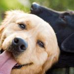Golden Retriever And Black Labrador