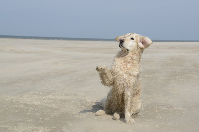 English Cream Golden Retriever On Beach