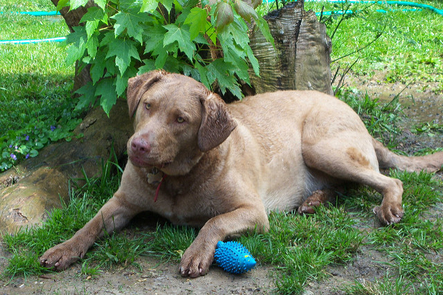 Chesapeake Bay Retriever lying down