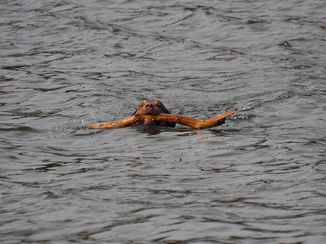 Chesapeake Bay Retriever Swimming