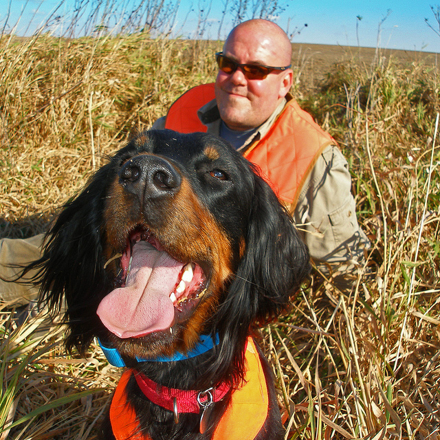 Gordon Setter Training