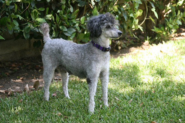 Grey Miniature Poodle