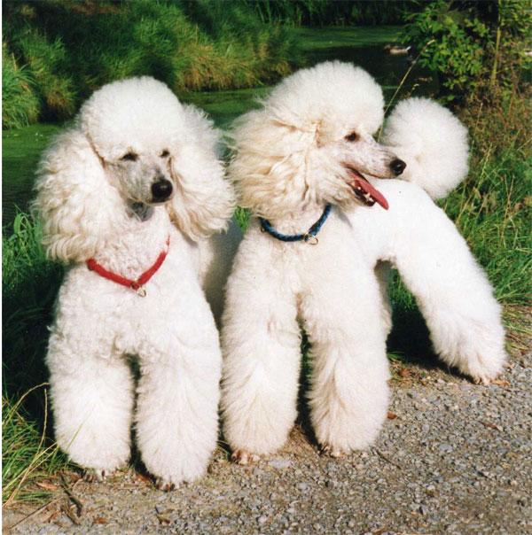 White Poodles
