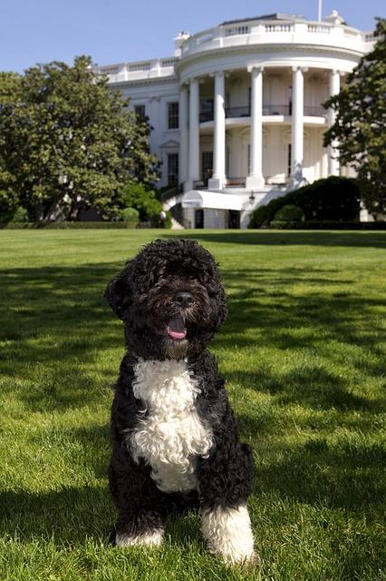 Obama's Portuguese Water Dog