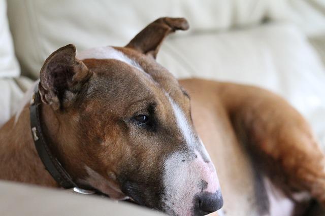 Bull Terrier Health